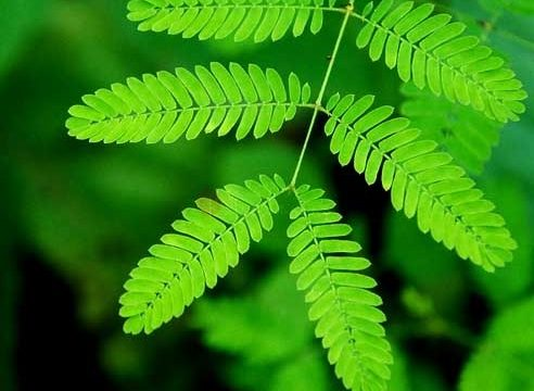 Can plants hear and think? Research on the Mimosa pudica plant says yes!