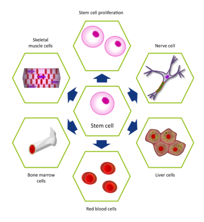 Stem cells differentiate to form cells of different types