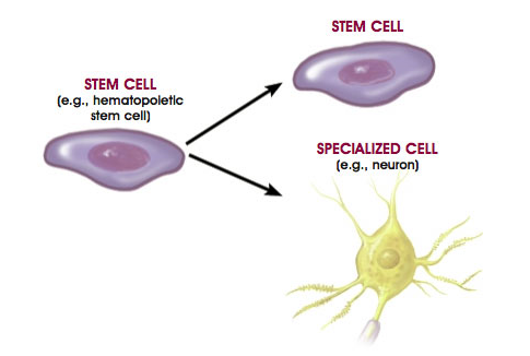 Stem cells divide unequally